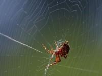 ragno su ragnatela, che tesse la tela