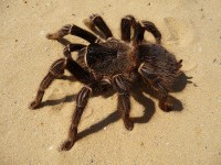 tarantola, grosso ragno peloso