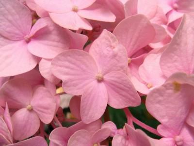 fiorellini-rosa