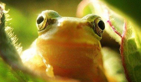 Sognare una rana, un rospo