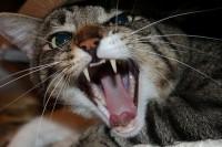 gatto aggressivo, che morde, che soffia