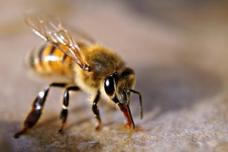 sognare api, vespe