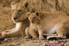 leonessa con leoncini