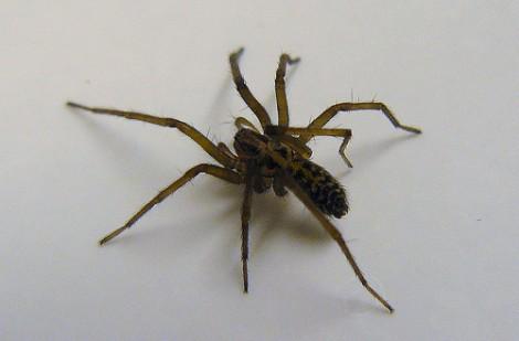 sognare ragno nero