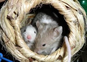 due topolini