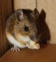 topo che mangia, che rosicchia