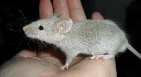 Sognare topi, ratti
