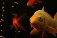 pesce-in-acquario