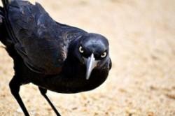 uccello aggressivo, arrabbiato, minaccioso