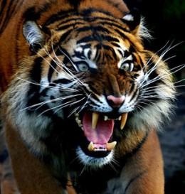 tigre arrabbiata, che ruggisce