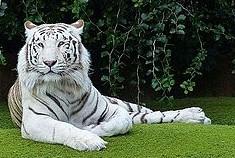 tigre bianca tranquilla