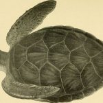 Sognare una tartaruga
