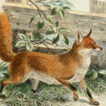 Sognare una volpe