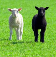 agnello bianco e agnello nero