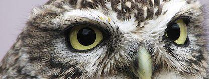 occhi di civetta, occhi gialli