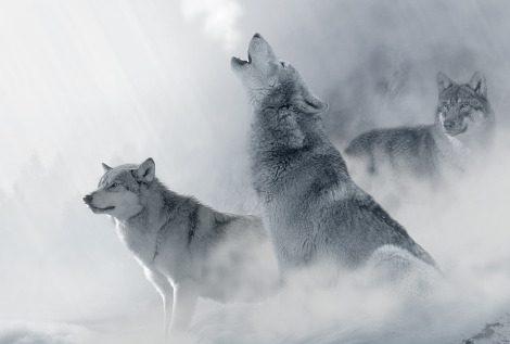 Sognare un lupo, una lupa, i lupi