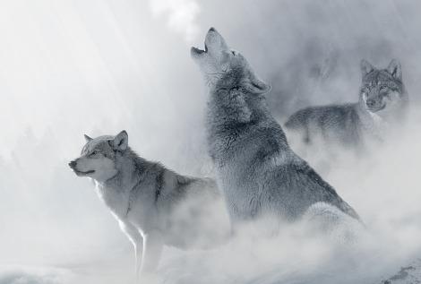sognare un lupo, lupo che ulula