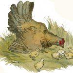 Sognare una gallina, un gallo, un pollo, un pulcino