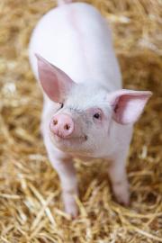 piccolo maialino rosa, porcellino