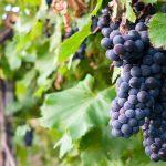 grappoli di uva nera nel vigneto