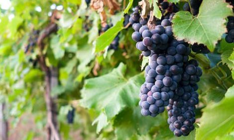 sognare grappoli di uva nera nel vigneto ae75e7dab2a