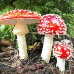 sognare funghi bianchi e rossi