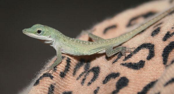 Sognare una lucertola, un geco, un'iguana, una salamandra